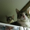 My mom's and sister's cats Ziggy and Emerson, plotting my demise from atop the refrigerator.