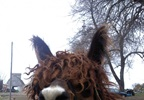 Flannigan the alpaca