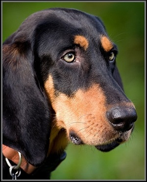 Black And Tan Coonhound Dog Breed Profile - HD Wallpapers