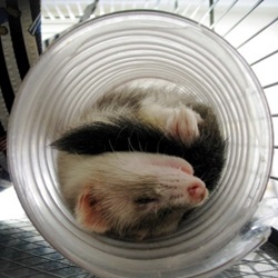 Top 12 Flexible Ferrets Sleeping