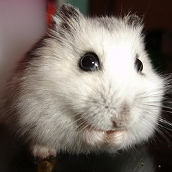 Hamster health and hygiene