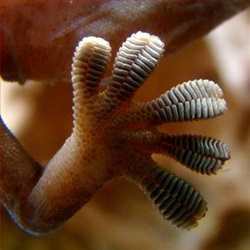 Humidity Tightens Gecko's Grip