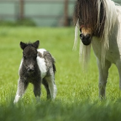 15 Adorable Miniature Horses