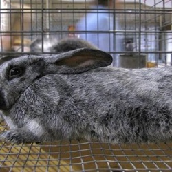 American Chinchilla