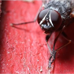 Super Macro Shots of Flies