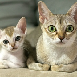 Cat Breeds That Stay Small