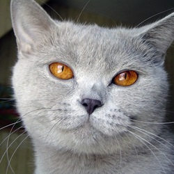 Cat Breeds With Round Faces