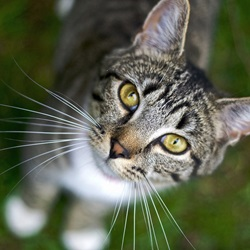 Advantages of Adopting an Adult Cat