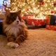 Safety of Cats and Dogs During Christmas