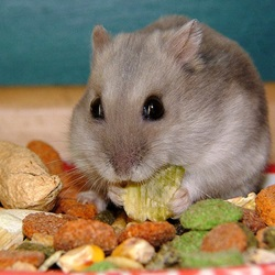 Dangerous Foods for Hamsters