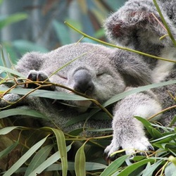 10 Totally Adorable Baby Koalas