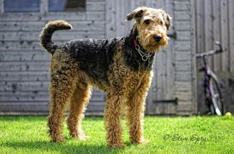 the gallery for curly haired dog breeds