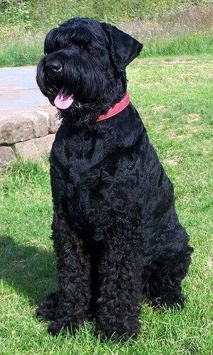 Black Russian Terrier Pictures Interesting Facts