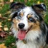 Breeds Of Dogs With Blue Eyes