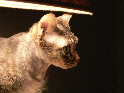 Difference Between Cornish And Devon Rex