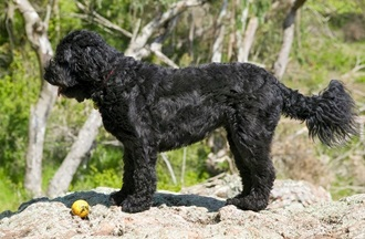 Black Curly Haired Dog Breeds