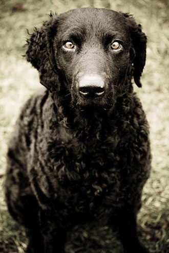Big Dogs With Short Curly Hair 77